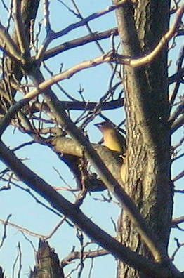 Two Cedar Waxwing