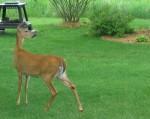 deer-resized