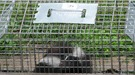 Skunk in raccoon trap
