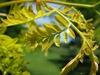 honeylocust tree in spring